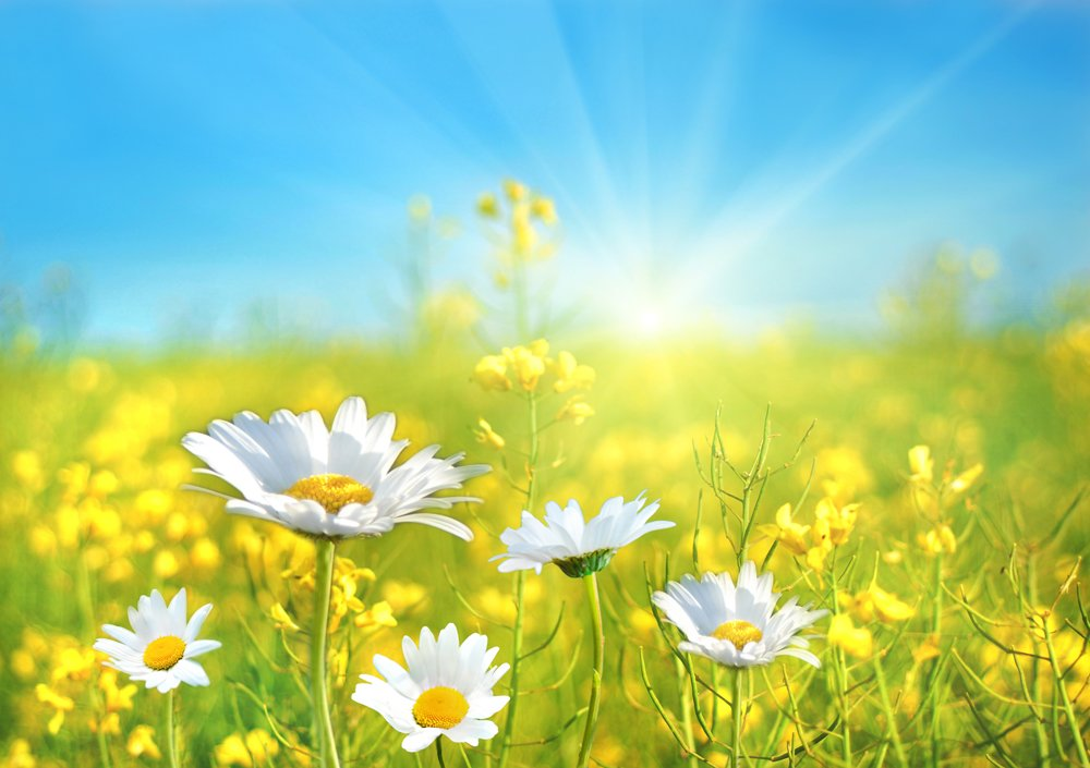 Wonderful A Perfect Day, Daisy Field Wall Mural